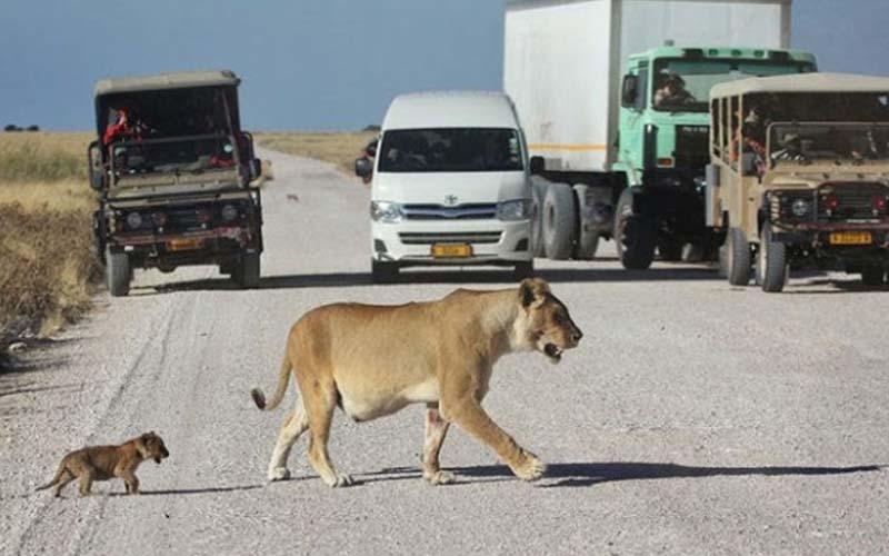 媽媽帶著小獅寶寶過馬路,小獅突然跑去跟汽車嗆聲,轉頭一看「老媽怎不見了?」
